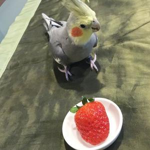 インコにいちごは食べさせても大丈夫?
