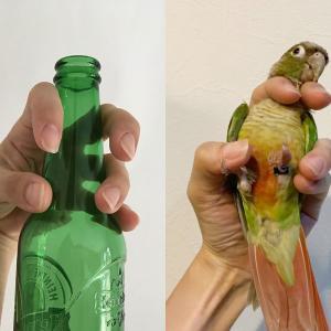 ビール瓶で出来る!インコの正しい保定練習法
