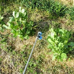 またまた、納豆菌を畑に散布。