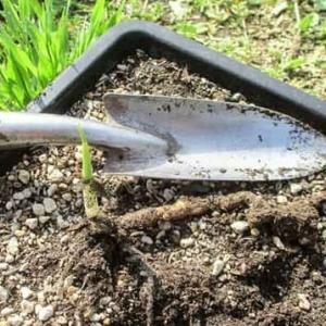 ミョウガ の植え付け & 赤根ネギの掘り上げ。