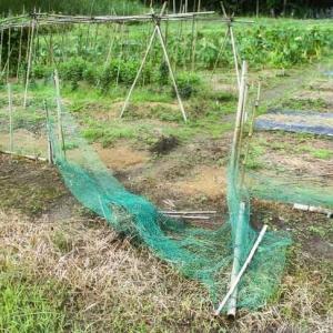 里芋収穫が・・・シカ侵入・・・