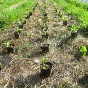 油菜と黄からし菜、エンダイブも植え付け。