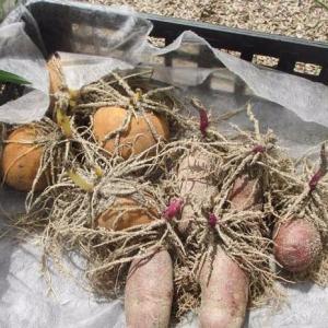 ジャガの植え付けからの〜〜〜、鉢上げ鉢上げ鉢上げ。