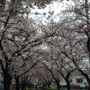 ランニング 桜