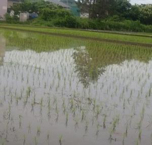 ランニング:田植えの季節