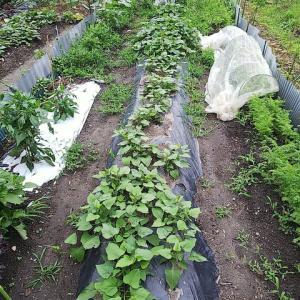 菜園4年目、6/14、梅雨入りで雑草茂る。