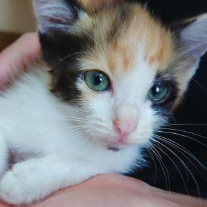 保護した子猫は股関節粉砕