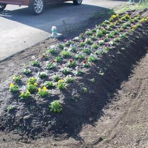 花壇にビオラ等を植える