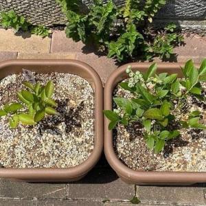 ブルーベリーの苗木を植える