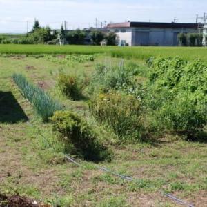秋に向けての家庭菜園(その2)