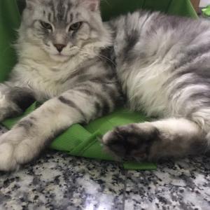 マレーシアで猫を飼おうと思っている方へ。