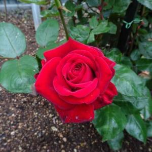 「小さな薔薇園」イングリットバーグマンの風格。
