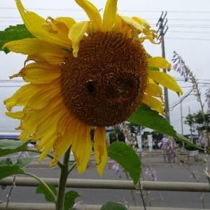 「ど根性ひまわり2019」  今年も釧路でも花を咲かせています。( ̄ー ̄)ニヤリッ
