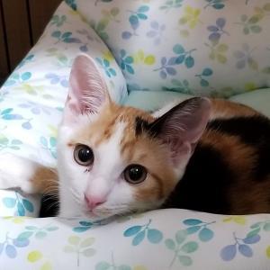 シンクロで美人の三毛猫やってきた