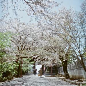 下総中山法華経寺・beautyflex 2.8 w/ cinestill 50