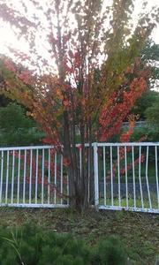 もう紅葉がちらほらと。