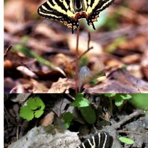 青山潤三先生ブログ  ギリシャと日本で対応する興味深い数種の蝶について