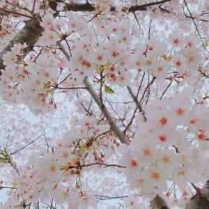 桜満開♡わんことお散歩