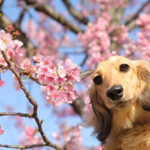 鎌倉わんこ写真♡桜