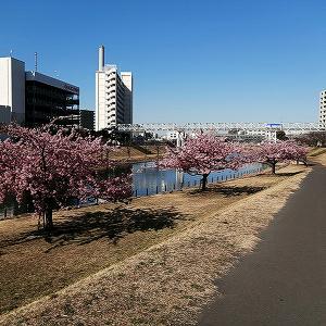 河津桜、梅など