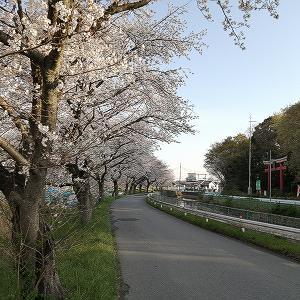 ミドヘル沿いの桜