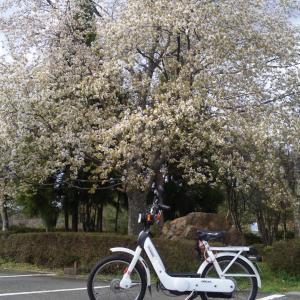 枝垂れ桜とciao - 本日の試走Σ三3