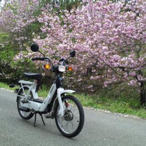 桃色の道を - 八重桜とciao