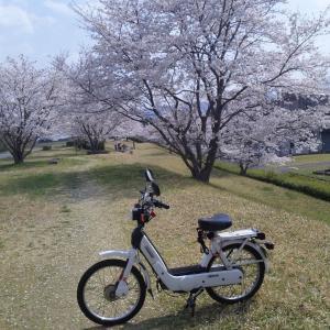 100年桜と土手の桜の2題 - ciaoのある風景