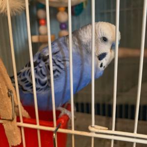 インコのTail二世:ケージっ子なセキセイ♂はおやつを食べ忘れる