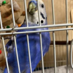 インコのTail二世:…鳥頭って????(笑)