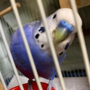 インコのTail二世:4歳でよく寝る鳥さんは体重が育つのかなぁ?(^ω^;;