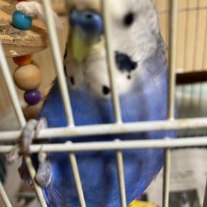 インコのTail二世:ホンマにお世話してて面白い鳥さんです(〃∇〃)エヘ