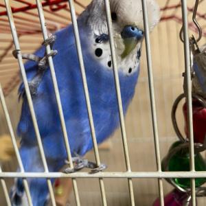 インコのTail二世:ホンマに鳥さんは運んでくれるんですねえ(゚ー゚*)フフ