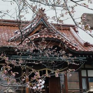 今年の桜の開花はやはり早かった