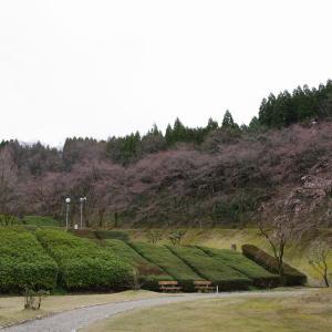 水道つつじ公園の桜も咲き始めていました