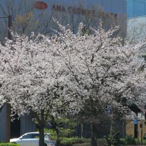 金沢駅前の桜がほぼ満開に