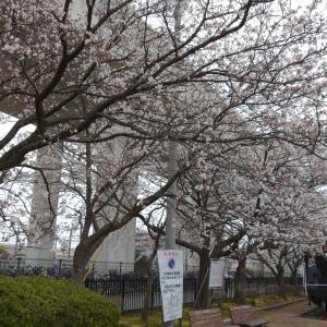 松任駅前の桜も見頃になってきていました