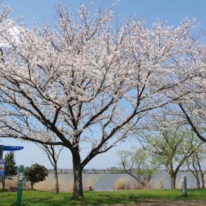 木場潟の桜も満開でした
