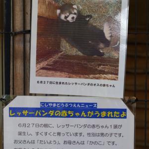 西山公園のレッサーパンダに赤ちゃんが生まれたそうです