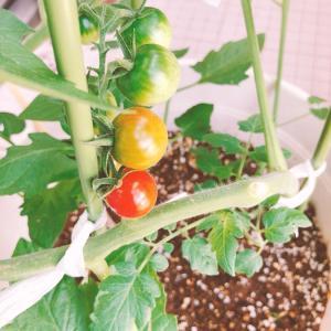 【趣味】ミニトマトが赤くなりだした