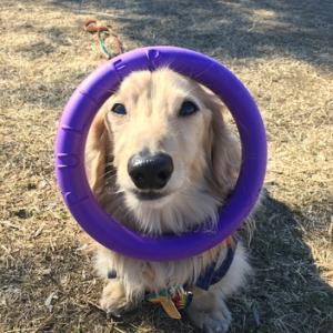 ラスクの玩具と保護犬ちゃん
