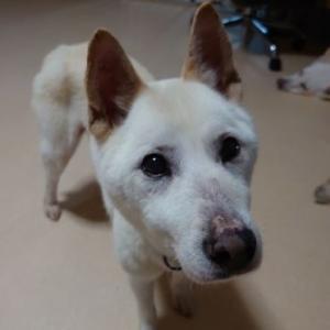 シニア犬チヨの幸せ