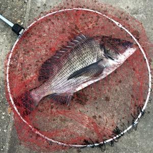 常滑   フカセ釣り   食材確保