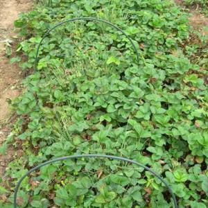 イチゴ苗の植付け