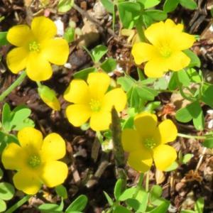 オキザリスの花2
