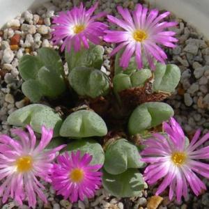 メセンの花4