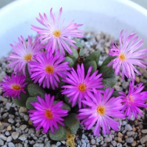 コノフィツムの花と葉