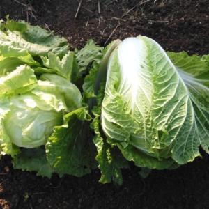 白菜、レタスの収穫