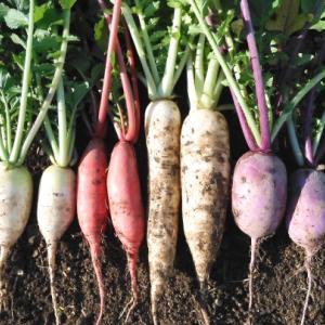 彩り大根の収穫