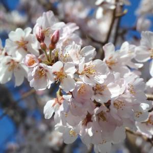 桜の開花2